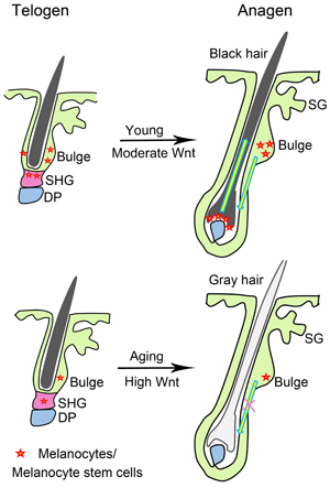 Schematic of Wnt signaling and hair graying.
