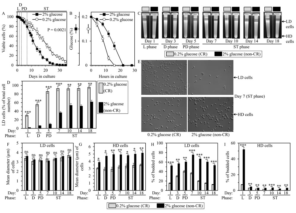 Caloric restriction (CR) accelerates an age-related accumulation of low-density (LD) cells, decreases the size of high-density (HD) cells, and lowers the abundance of budded cells in LD and HD populations of chronologically aging yeast cultures.