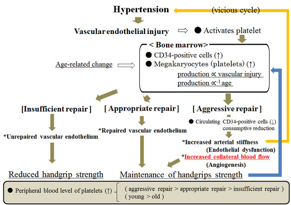 Possible mechanism underlying the association between handgrip strength and endothelium repair among hypertensive subjects.