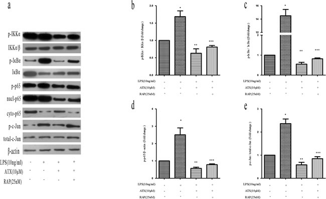 RAP inhibits ATX-induced M2 microglia polarization by promoting NF-κB and JNK activation.