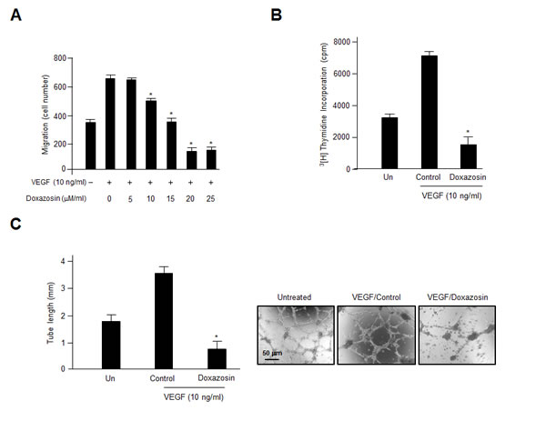 Treatment with doxazosin decreases endothelial cell migration, proliferation, and capillary-like tubule formation.