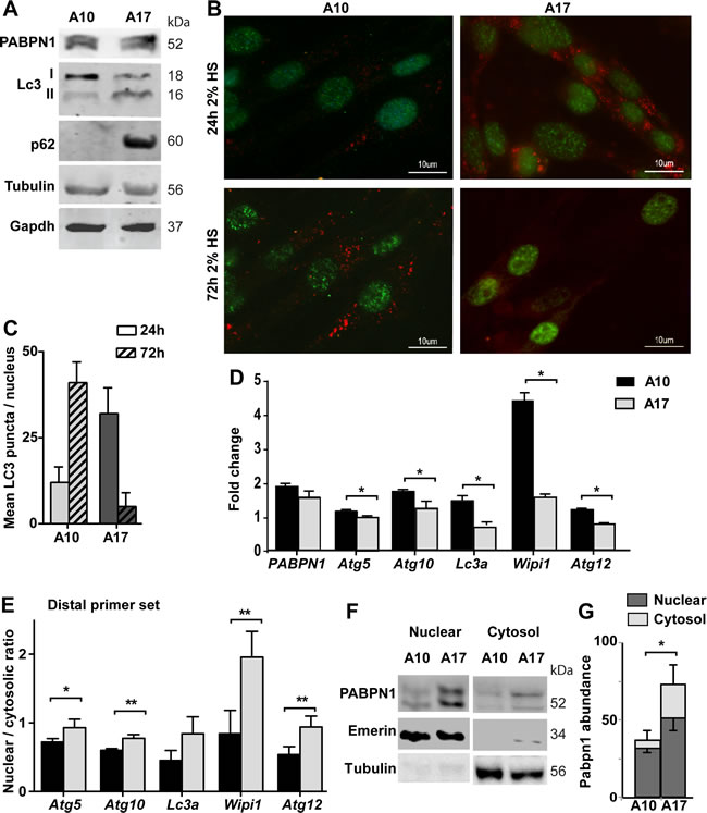 Autophagy is hyper activated in OPMD muscle cell model.