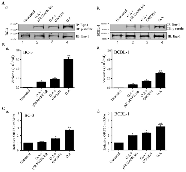 Okadaic acid (O.A) upregulates Egr-1 phosphorylation and virion production, which get suppressed by p38 MAP kinase (p38 MAPK) and Raf kinase inhibitors.