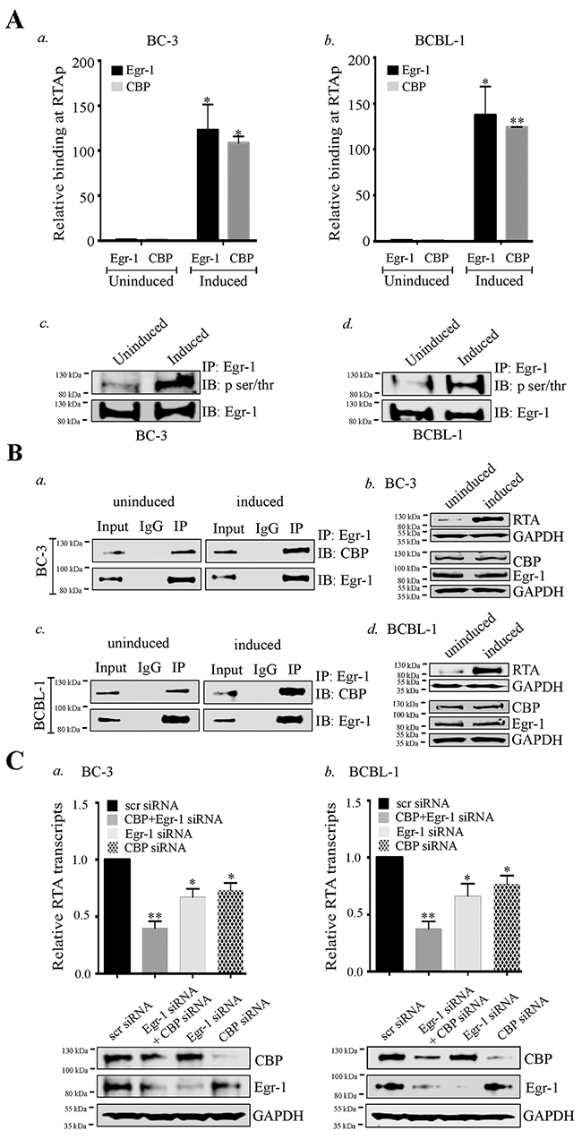 Egr-1 and CBP binds at RTA promoter (RTAp) and regulates its transcription during viral reactivation.