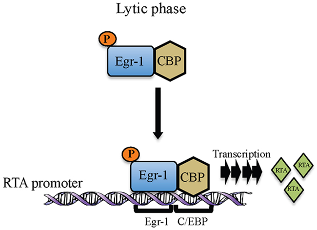 Schematic showing Egr-1 phosphorylation and formation of Egr-1 and CBP complex at RTA promoter during lytic reactivation for the transcription of RTA.
