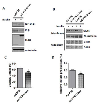 Ad-PTB-U-box inhibits Glut4 membrane translocation and glucose metabolism.