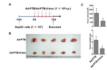Ad-PTB-U-box exhibits potent anti-tumor effect in HepG2 xenograft.