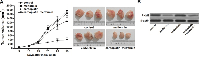 Metformin sensitizes carboplatin-resistant NSCLC cells to carboplatin in vivo.
