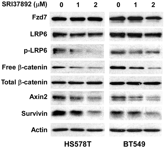 Effects of SRI37892 on Wnt/β-catenin signaling in breast cancer HS578T and BT549 cells.