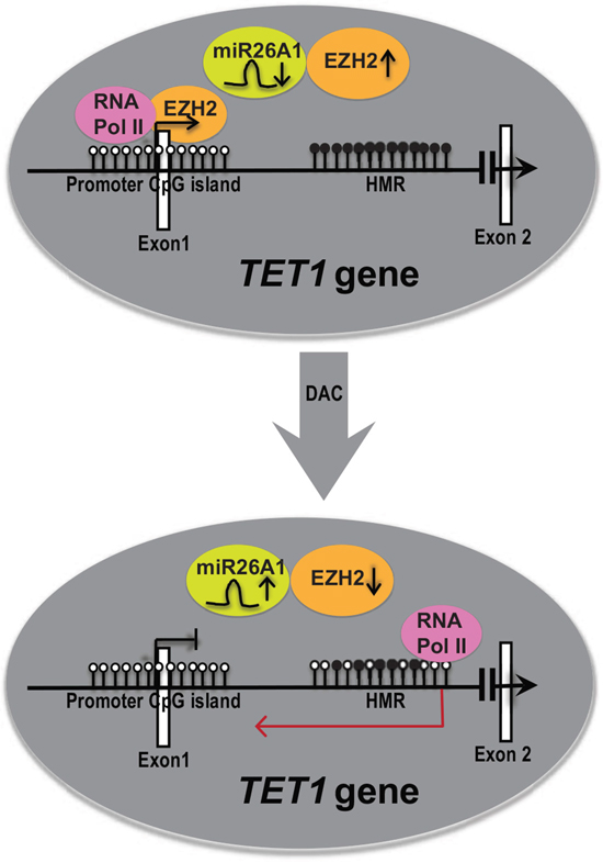 A model explaining the role of DNA hypermethylation in regulating TET1 gene expression.