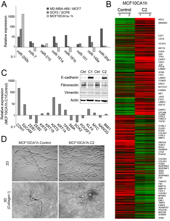 Phenotypic effects of miR-200s expression in MCF10CA1h cells.
