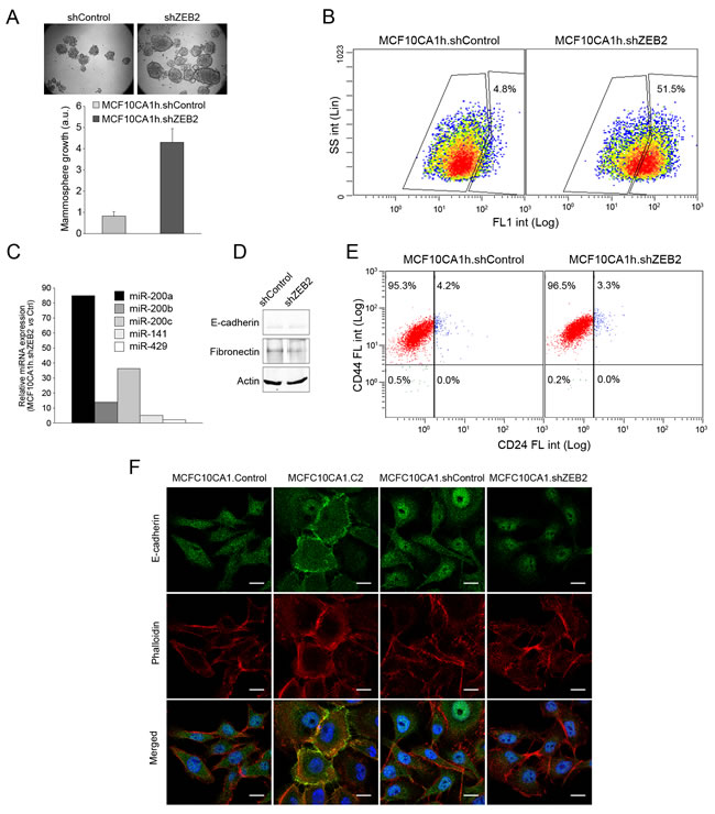 ZEB2 knockdown partially phenocopies miR-200 expression in MCF10CA1h cells.