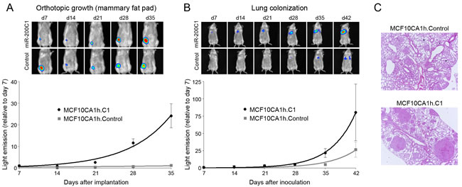 miR-200s potentiate the tumor growth and lung colonization of MCF10C1h cells in NOD-SCID mice.