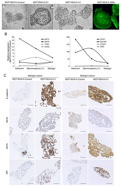 miR-200s promote the morphogenesis and differentiation of MCF10CA1h cells.