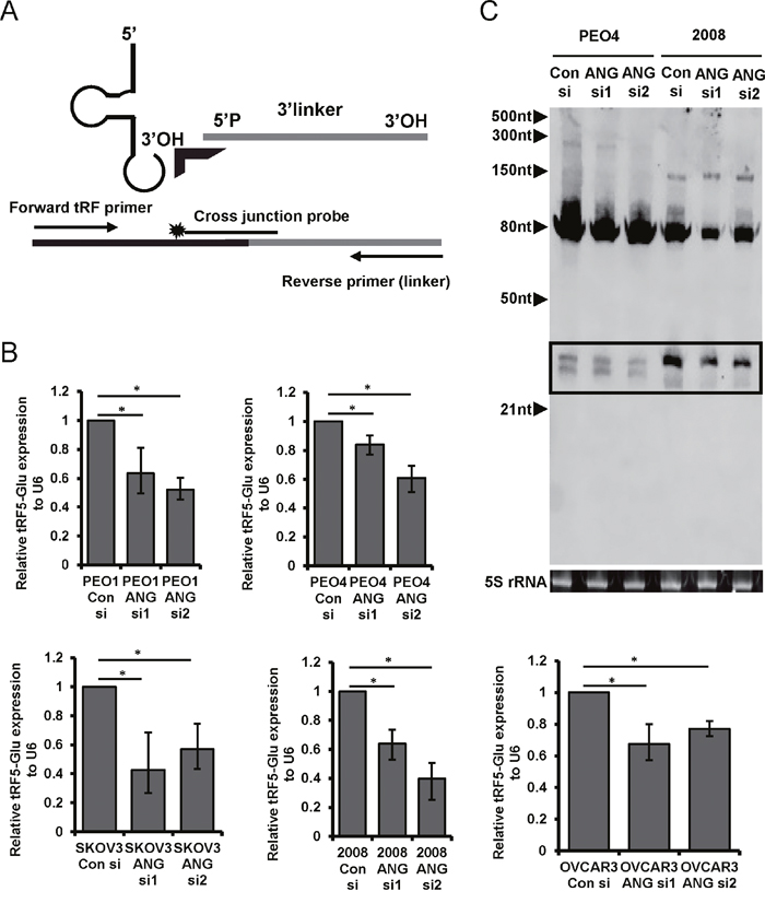 The biogenesis of tRF5-Glu is regulated by ANG in ovarian cancer cells.