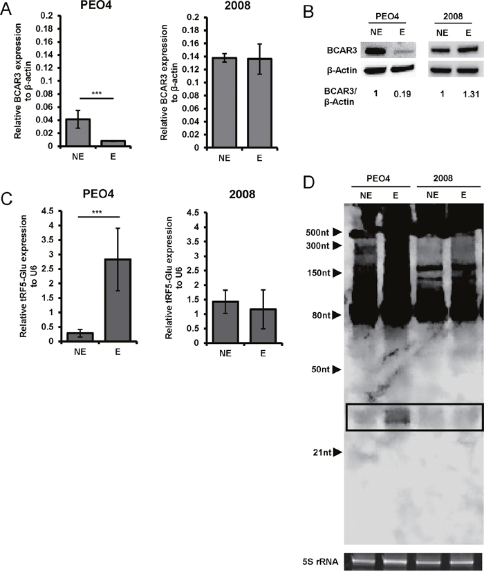 tRF5-Glu and its potential target BCAR3 are expressed in ovarian cancer cell lines.