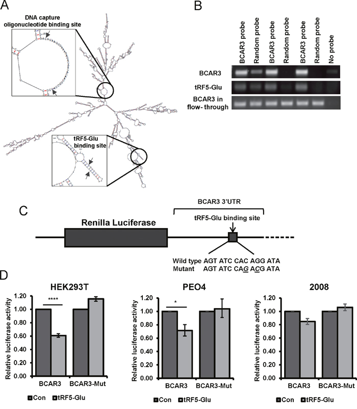 Binding of the BCAR3 mRNA by tRF5-Glu is demonstrated using miR-Catch and luciferase assays.