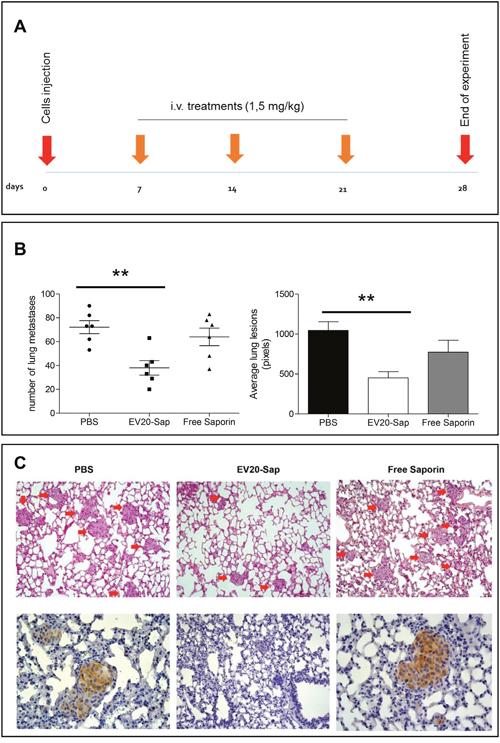 EV20-Sap shows a potent in vivo antitumor activity in a model of melanoma experimental metastasis.
