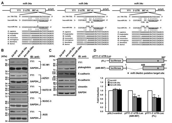 YY1 is the target gene of miR-34 family members.