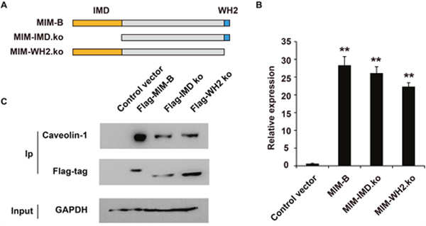 The IMD and WH2 domains are essential for the interactions between MIM-B and caveolin-1.