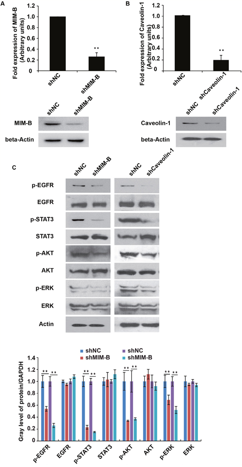 Inhibition of MIM-B and caveolin-1 repressed EGFR pathway activity.