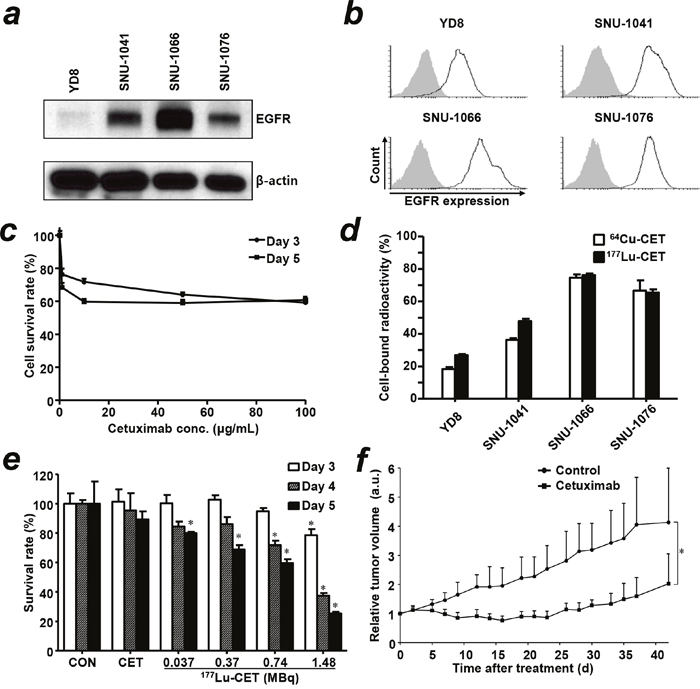 Characterization of EGFR expression in head and neck squamous cell carcinoma (HNSCC) cells, treatment effect of cetuximab and in vitro cell binding assay of radiolabeled cetuximab.
