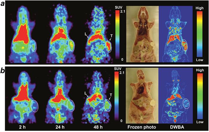 Small animal PET imaging of 64Cu-PCTA-cetuximab in SNU-1066 HNSCC xenograft model.