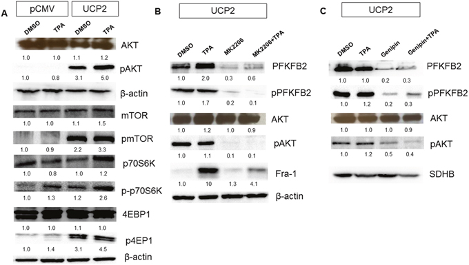 UCP2 induces PFKFB2 expression in AKT-dependent manner.