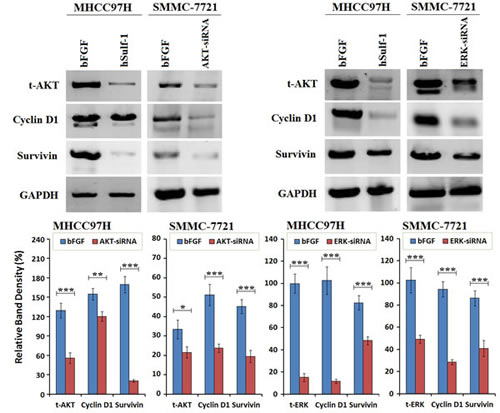 Cyclin D1 and Survivin was downregulated after silencing AKT and ERK expression in HCC cells.