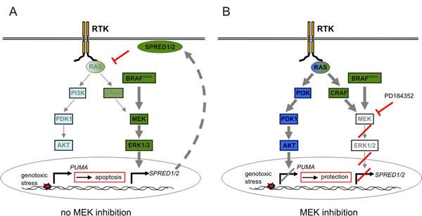 Scheme of the MEK inhibitor induced crosstalk mechanism.