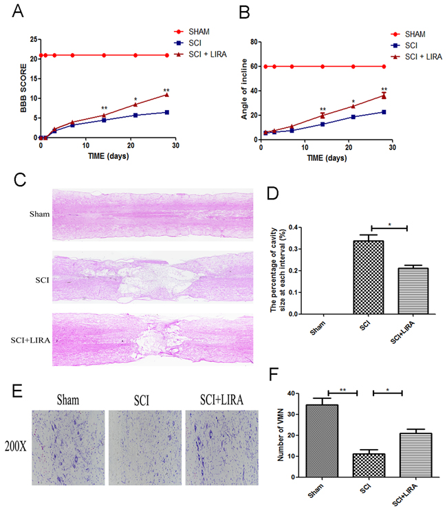 Liraglutide decreases the cavity of necrotic tissue as well as the loss of motor neurons and improves functional recovery after SCI.