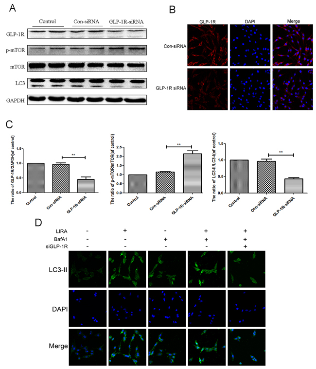 Inhibition of GLP-1R by siRNA markly attenuated liraglutide-induced autophagy in PC12 cells, and reversed the inhibition of mTOR pathway.