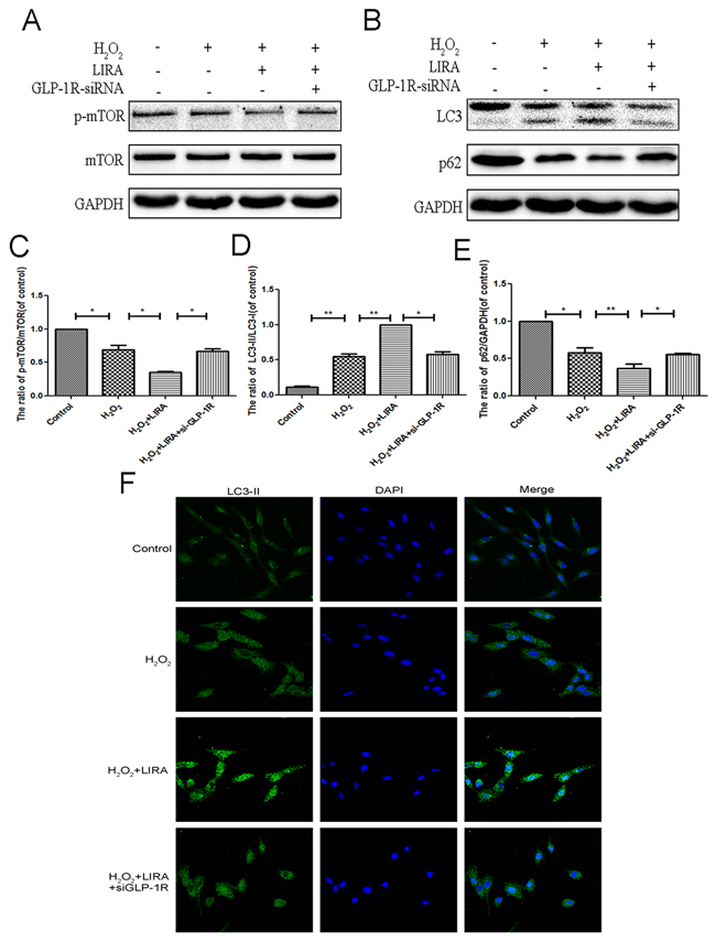 Inhibition of GLP-1R by siRNA markly attenuated liraglutide-induced autophagy and the inhibition of mTOR pathway in PC12 cells under H2O2 stimulation.