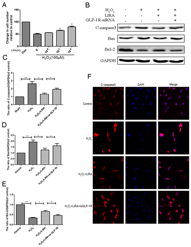 Inhibition of GLP-1R by siRNA markly attenuated the effect of liraglutide against apoptosis induced by H2O2 in PC12 cells.
