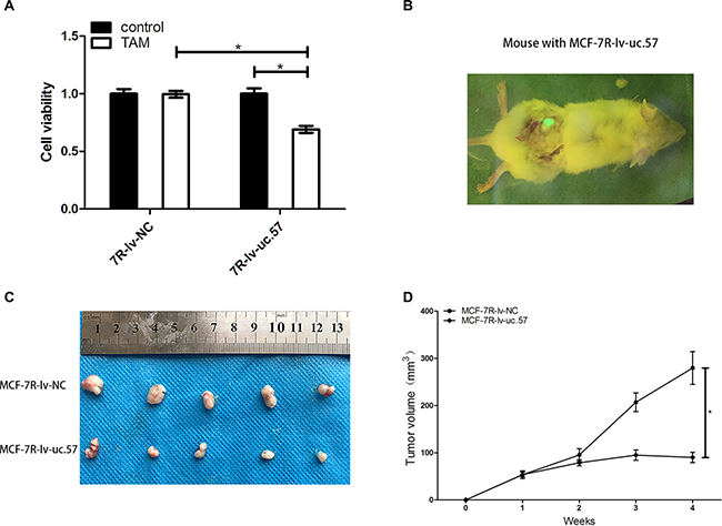 LncRNA uc.57 overexpression reduces in vitro and in vivo TAM resistance in MCF-7R cells.