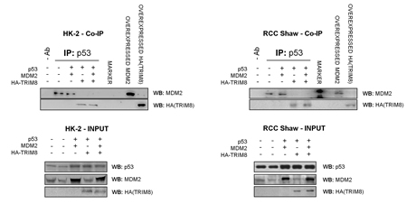 TRIM8 displaces MDM2-p53 binding.