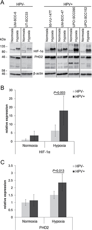 Enhanced response to hypoxia in HPV-positive HNSCC cell lines.