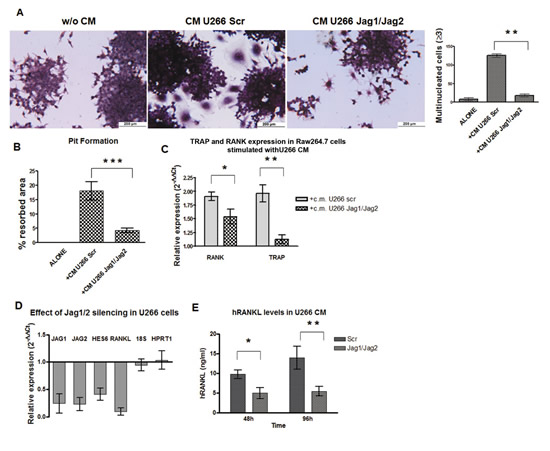 Jag1/2 silencing impairs MM cell osteoclastogenic ability.