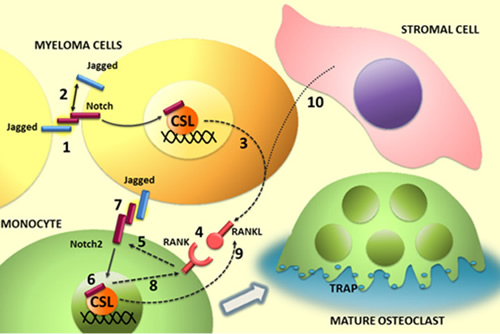 Illustration of the role of Notch ligands and receptors in MM-associated osteoclastogenis.