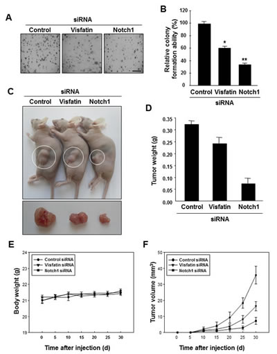 Effects of visfatin or Notch1 depletion on cell and tumor growth.