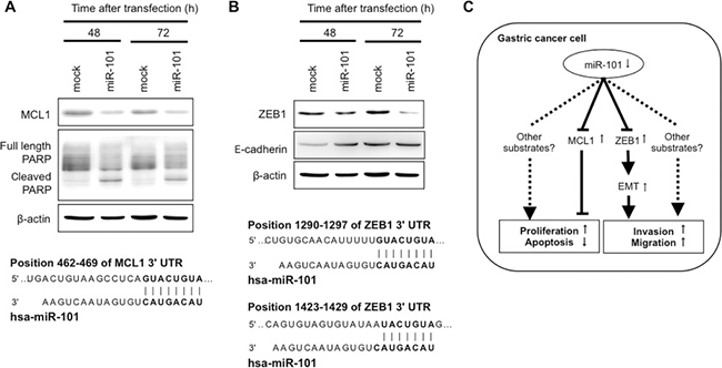 MCL1 and ZEB1 were direct targets of miR-101 in GC cells.