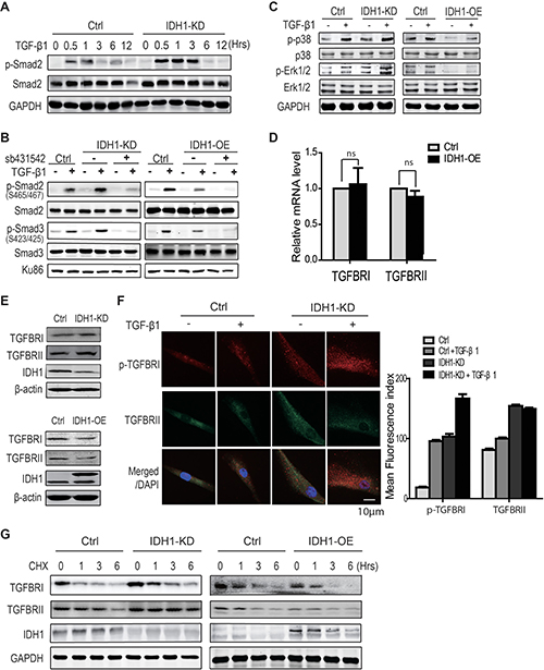 Oncotarget | TGFBR-IDH1-Cav1 axis promotes TGF-β signalling