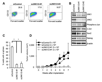Genetic silencing of JNK by siRNA causes loss of the self-renewal and tumor-initiating capacity in PANC-1 CSLCs.