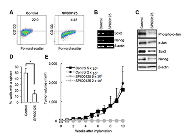 Pharmacological inhibition of JNK by SP600125 causes loss of the self-renewal and tumor-initiating capacity in PANC-1 CSLCs.
