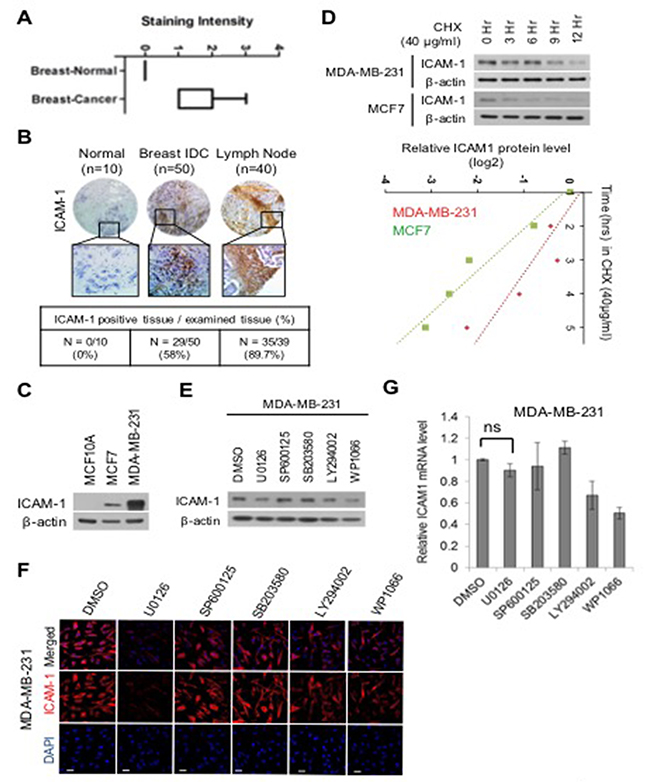 Oncotarget Regulation Of Fbxo4 Mediated Icam 1 Protein Stability