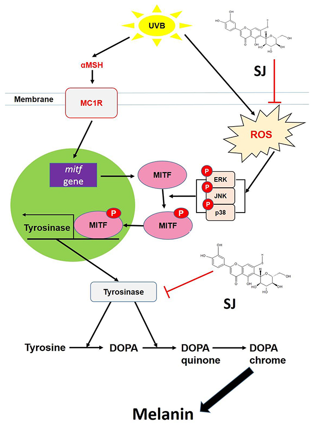 A hypothetical model of mechanisms underlying the swertiajaponin-mediated anti-melanogenic effect.