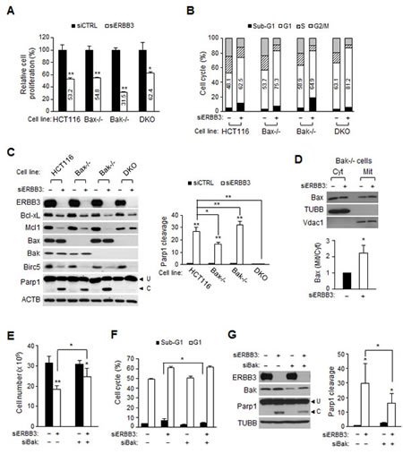 Bak and Bax-dependent apoptosis by ERBB3 knockdown in HCT116 cells.