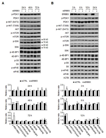 Changes in the signaling pathways induced by ERBB3 knockdowns in HCT116 cells.