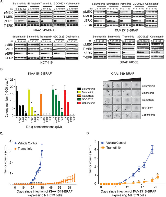 KIAA1549-BRAF and FAM131B-BRAF mediated activation of MAPK pathway and oncogenic transformation can be inhibited with MEK inhibitors.