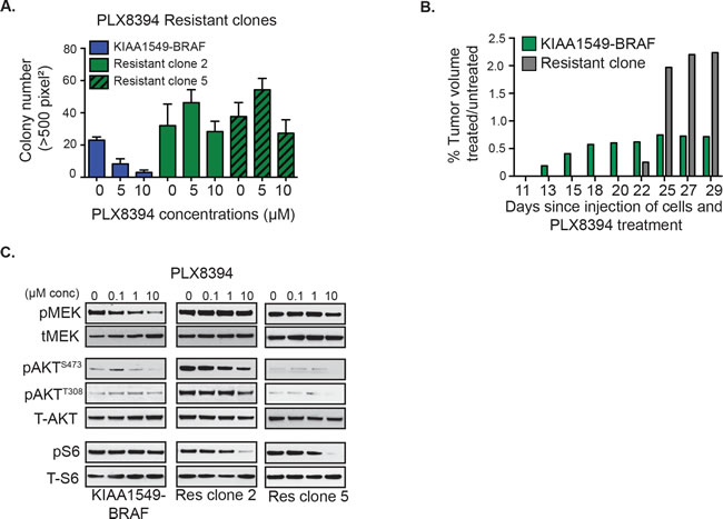 Emergent resistance to 'paradox-breaking' RAFi PLX8394 is mediated by PI3K/AKT/mTOR pathway activation.
